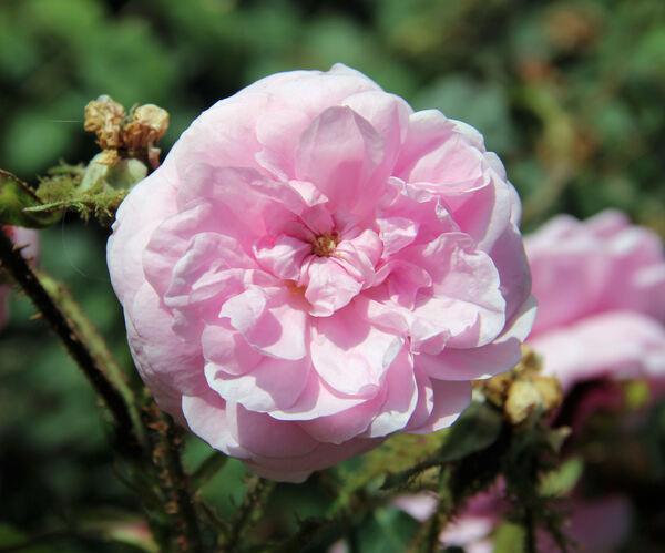 Rosa 'James Mitchell'