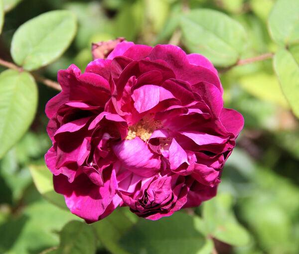 Rosa 'Deuil de Paul Fontaine'