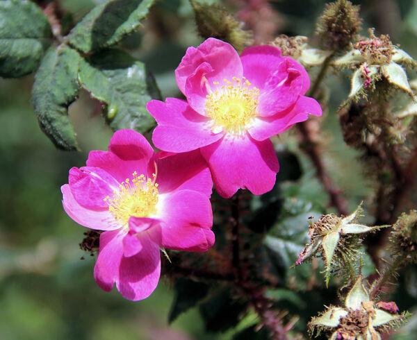 Rosa 'Goethe'