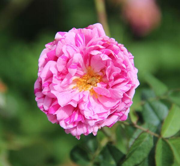 Rosa 'Georges Vibert'