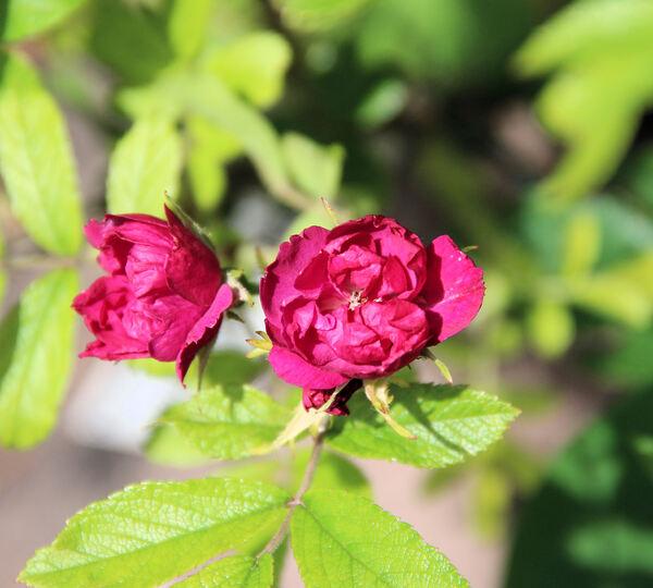 Rosa 'Grootendorst Supreme'