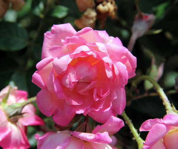 Rosa 'Sisi Ketten'