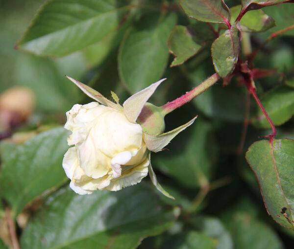 Rosa 'Souvenir de Pierre Notting'