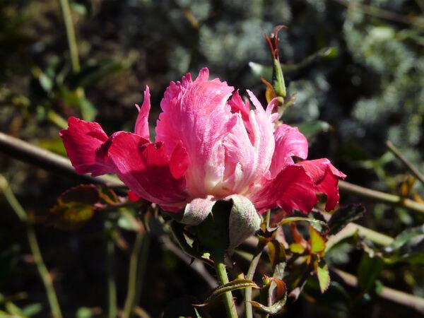 Rosa 'Serratipetala'