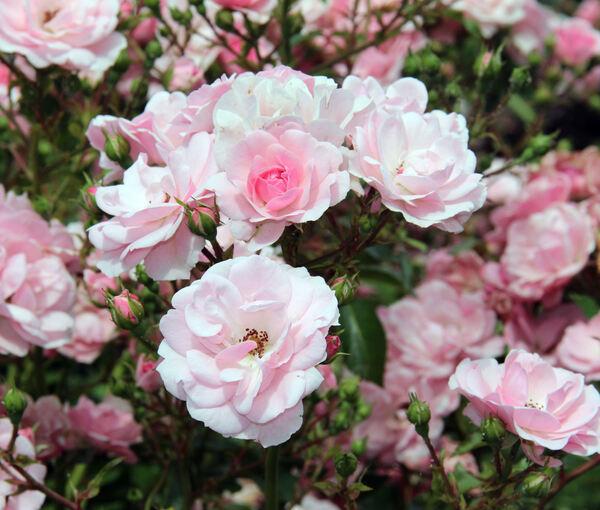 Rosa 'Bonica '82 ®'