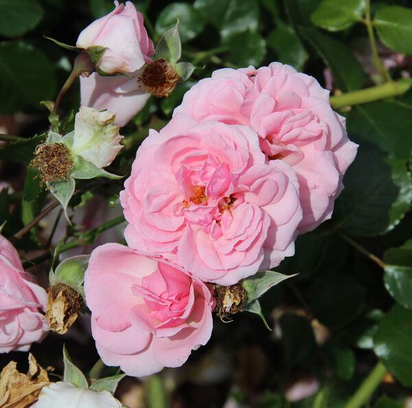 Rosa 'Home & Garden ®'