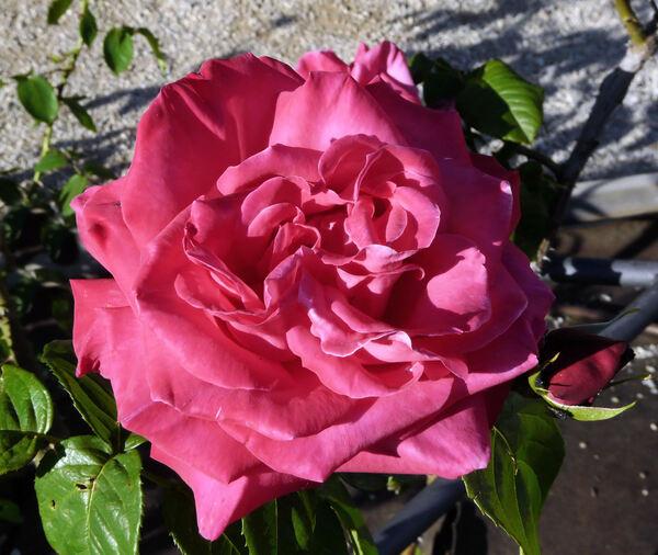 Rosa 'Madame Caroline Testout, Cl.'