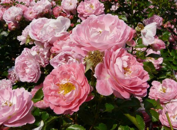 Rosa 'Charmant ®'