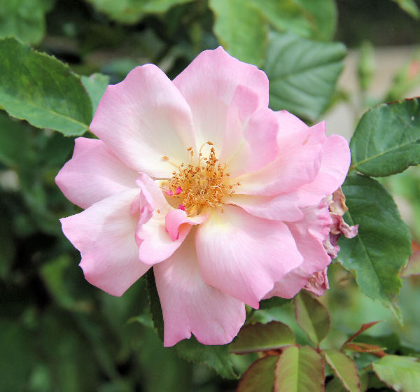 Rosa 'Lady Waterlow'