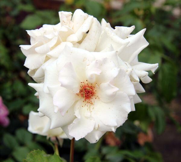 Rosa 'Monna Lisa ®'