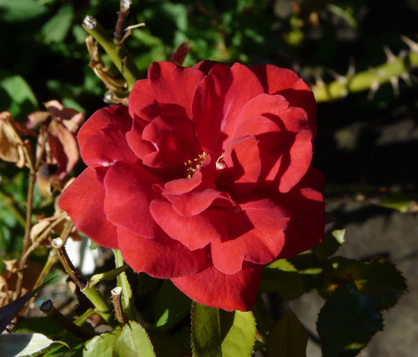 Rosa 'Rapperswil'