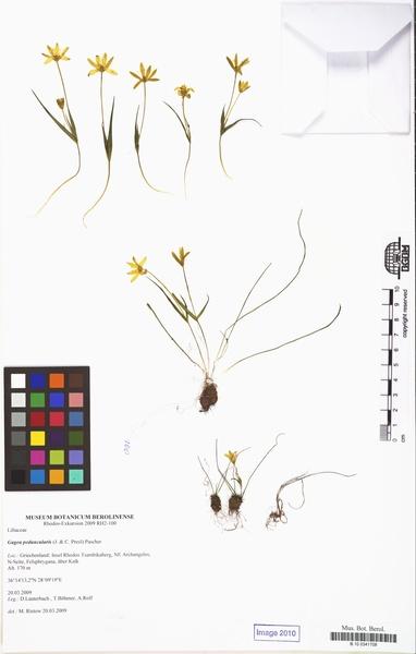 Gagea peduncularis (J.Presl & C.Presl) Pascher