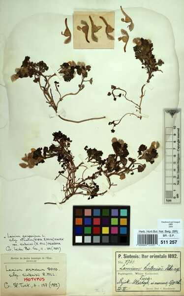 Lamium garganicum L. subsp. striatum (Sm.) Hayek