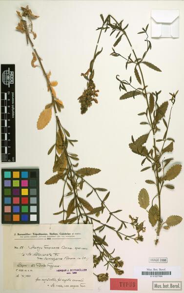 Stachys recta L. subsp. tenoreana Bornm.