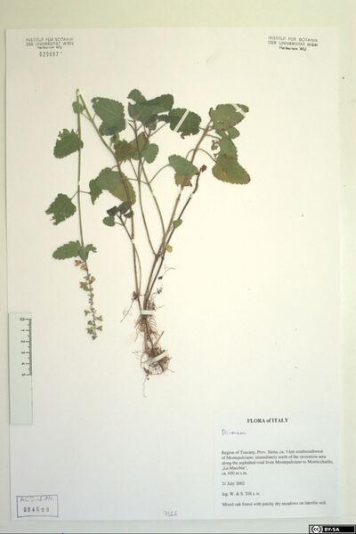 Teucrium siculum (Raf.) Guss. subsp. euganeum (Vis.) Tornad.