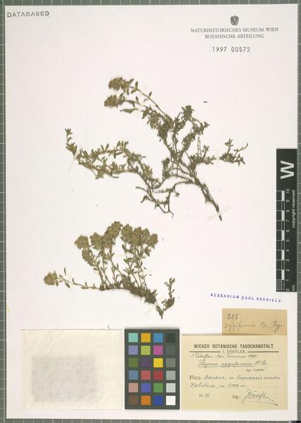 Thymus zygiformis Heinr.Braun