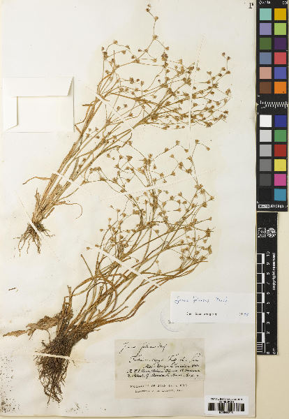 Juncus foliosus Desf.