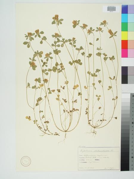 Trifolium dalmaticum Vis.