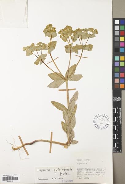 Euphorbia valerianifolia Lam.