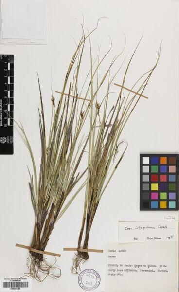 Carex illegitima Ces.
