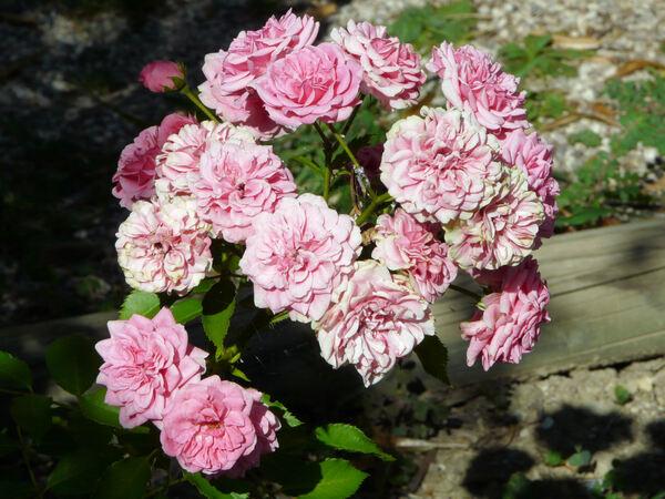 Rosa 'Elmshorn'