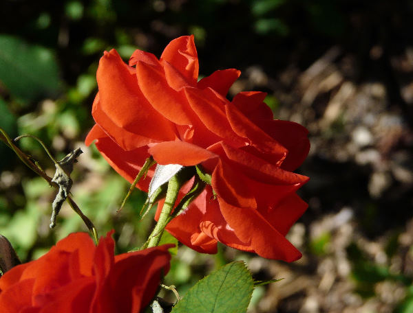 Rosa 'Kordes Brilliant'