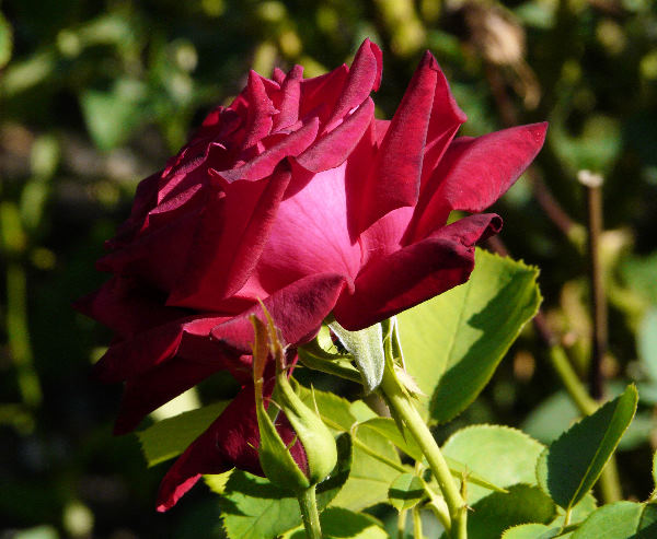 Rosa 'Uncle Joe'