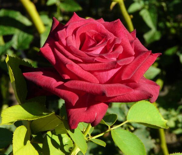 Rosa 'Uncle Joe'