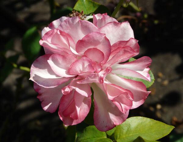 Rosa 'Tabriz'