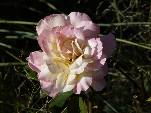 Rosa 'Pavane'