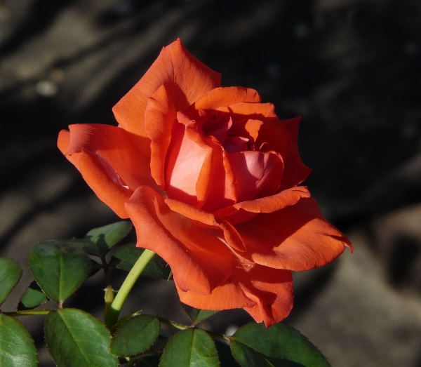 Rosa 'Reine du Forez'