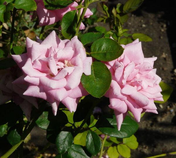 Rosa 'Pink Supreme'