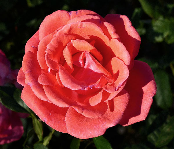 Rosa 'Polly Perkins'