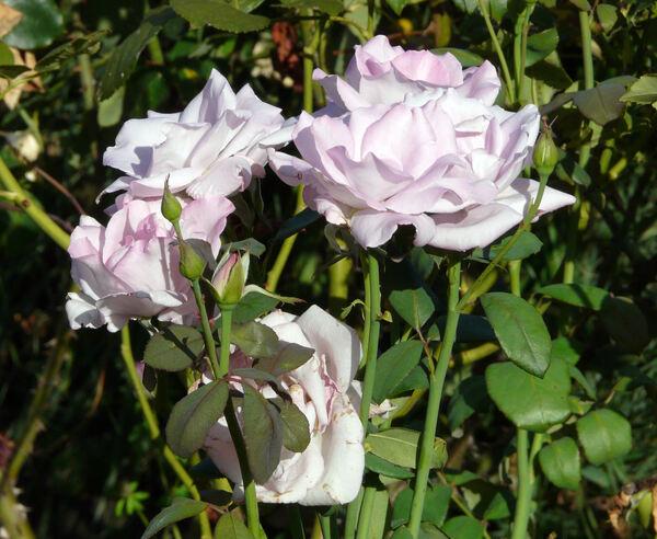 Rosa 'Blue Monday'