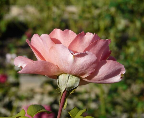 Rosa 'Jack's Wish'