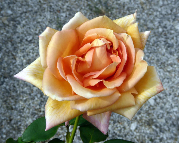 Rosa 'Bronze Masterpiece'