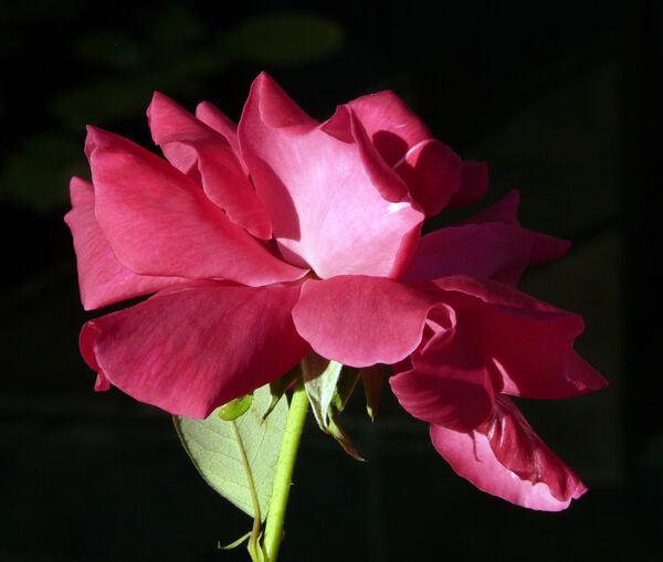 Rosa 'Professor Knöll'