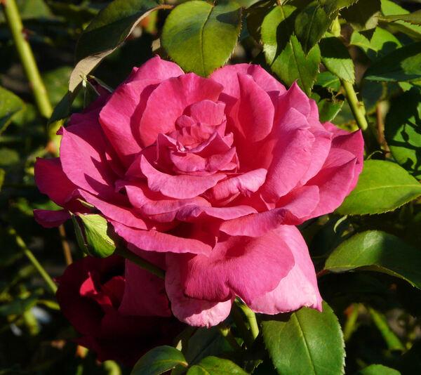 Rosa 'Bolero ®'