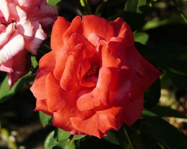 Rosa 'Caline'