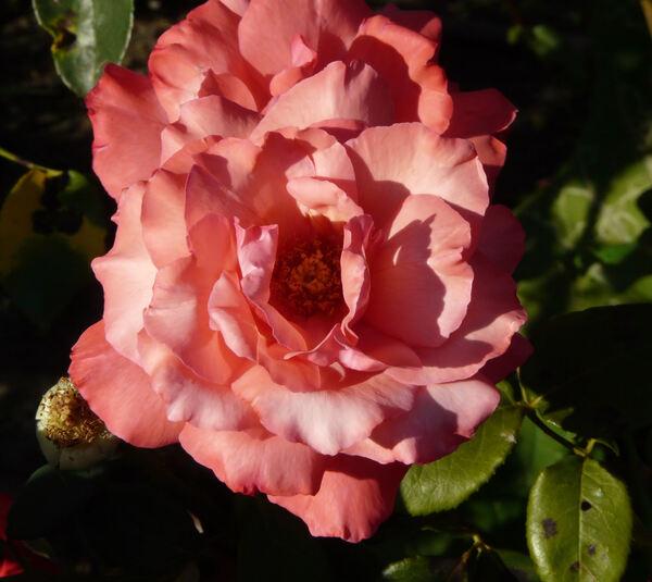 Rosa 'Larissa ®'