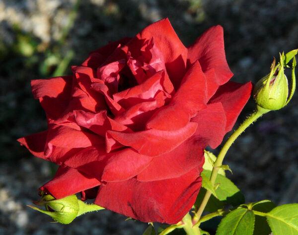Rosa 'Josephine Bruce'