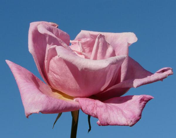 Rosa 'Pink Favorite'