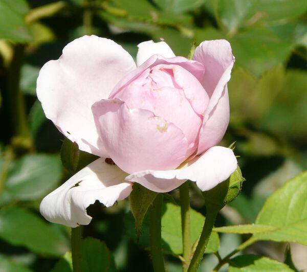 Rosa 'The Ingenious Mr. Fairchild'
