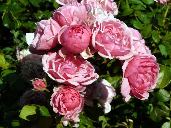 Rosa 'Pomponella ®'