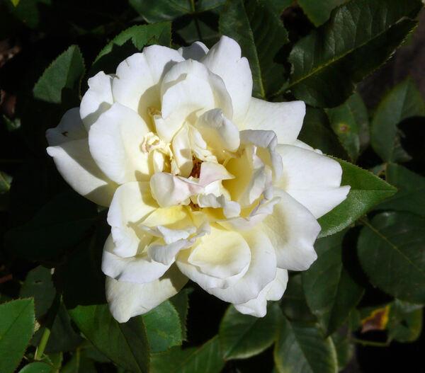 Rosa 'Banzai '76'
