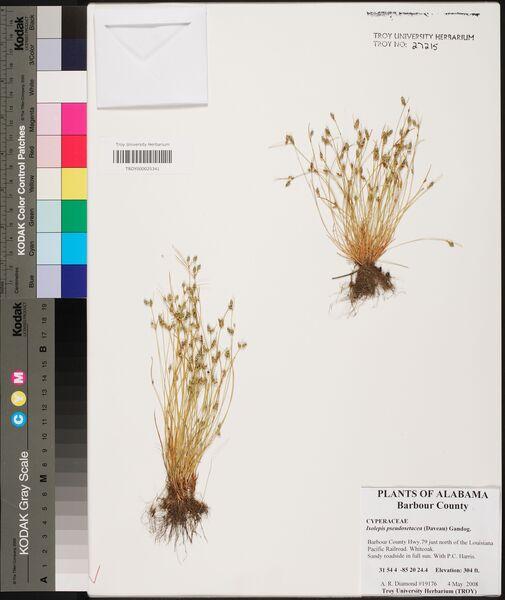 Isolepis pseudosetacea (Daveau) Gand.