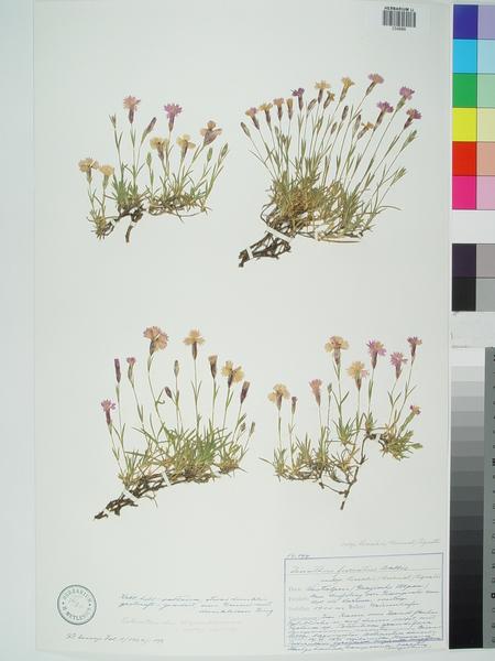 Dianthus furcatus Balb. subsp. lereschii (Burnat) Pignatti