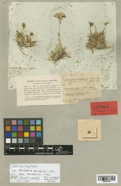 Mcneillia graminifolia (Ard.) Dillenb. & Kadereit subsp. clandestina (Port.) Dillenb. & Kadereit