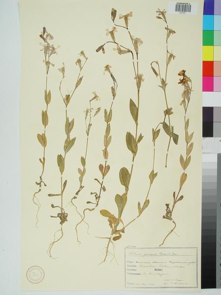 Silene graeca Boiss. & Spruner