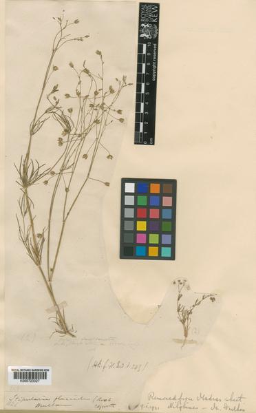 Spergularia flaccida (Madden) I.M.Turner
